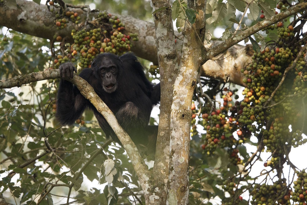 chimpanzee cleft.jpg