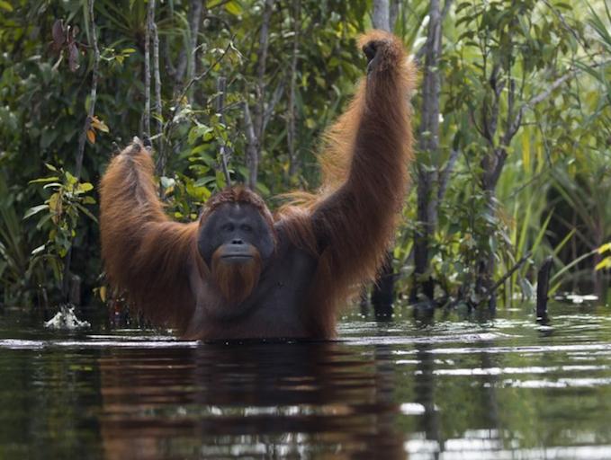 orangutan crossing river.png
