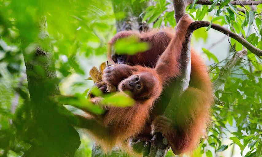 endangered orangutans.jpg