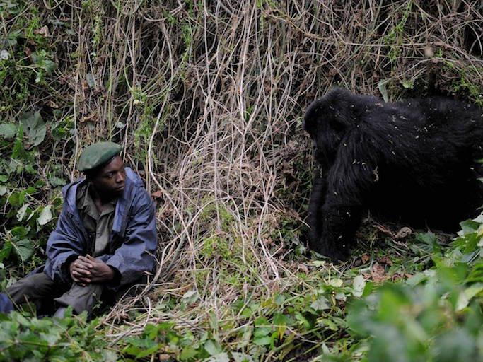 virunga-gorilla.jpg