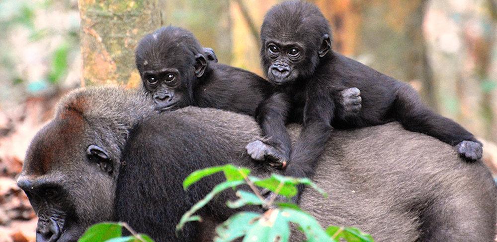 uganda gorillas.jpg
