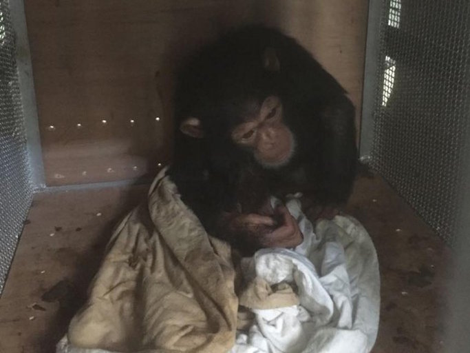 smuggled chimpanzee infant.jpg