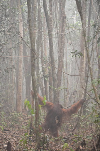 wildfiresorangutan.jpg