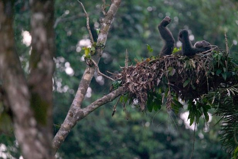 chimp in nest.jpg