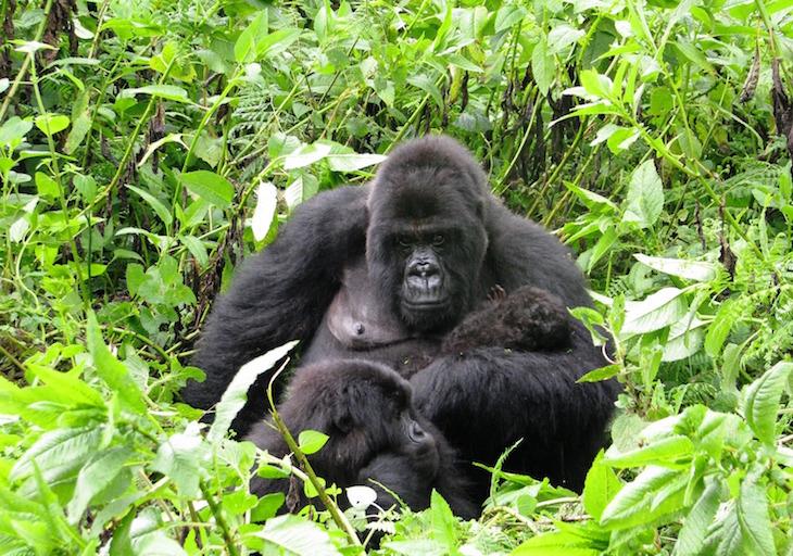 wild gorilla family.jpg