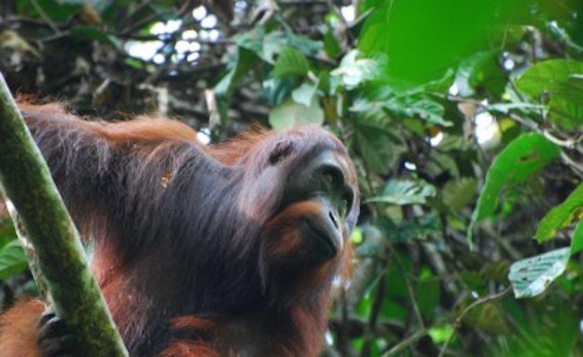 wild orangutan.jpeg
