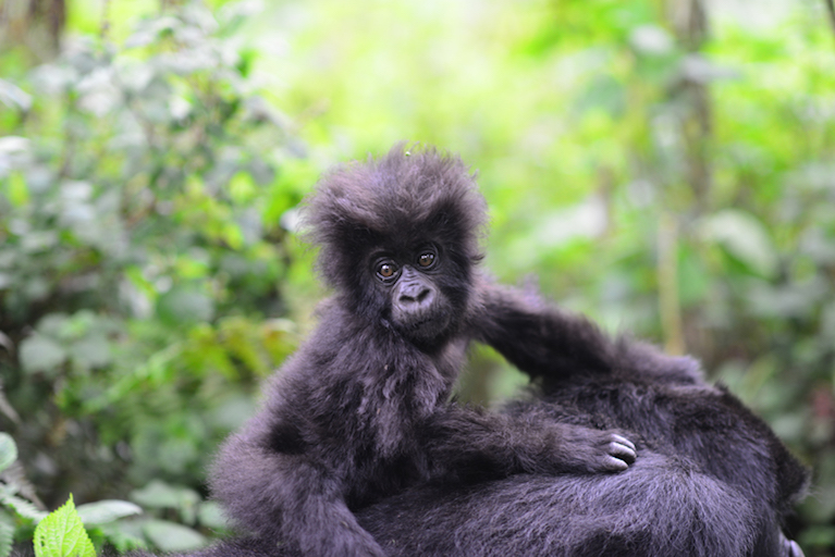 world ape fund mountain gorilla.jpg