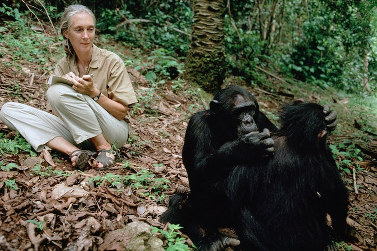 wild chimpanze and jane goodall.jpg