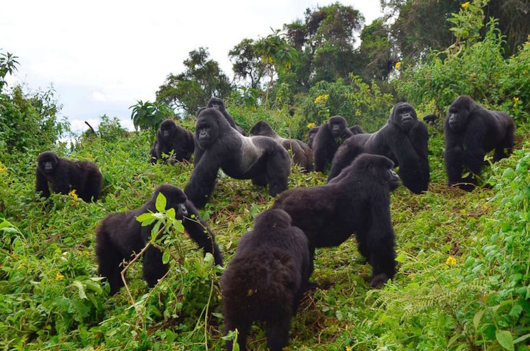 mountain-gorilla-group.jpg