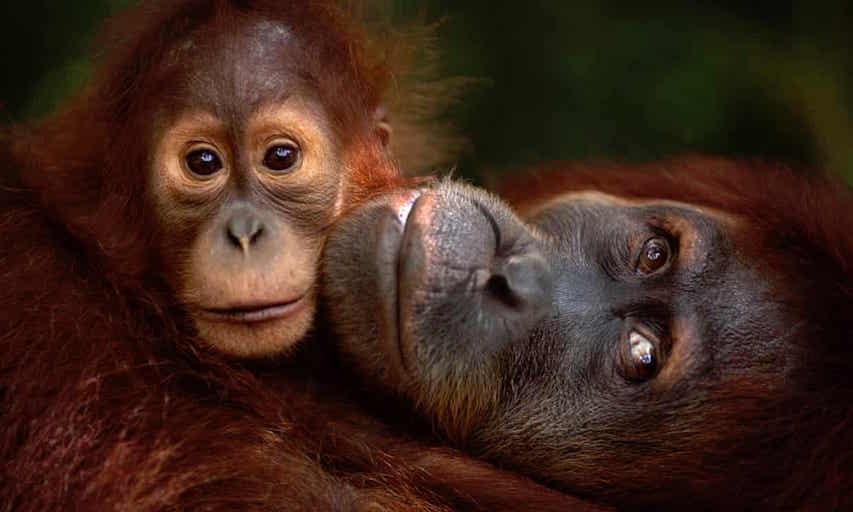 orangutans world ape dund.jpg