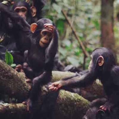 wild chimps.jpg
