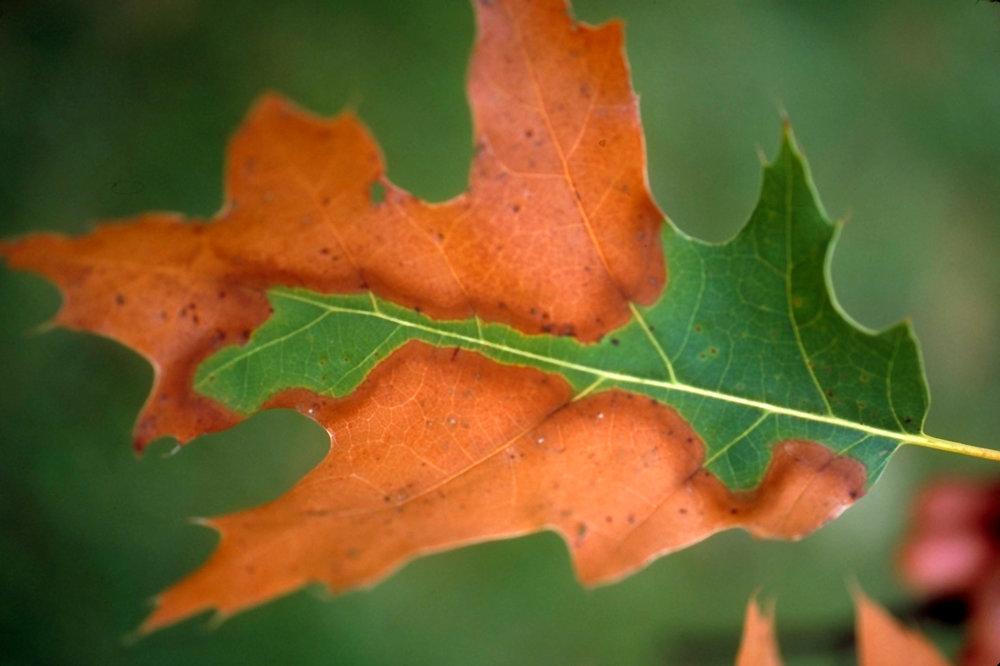 bac-leaf.jpg