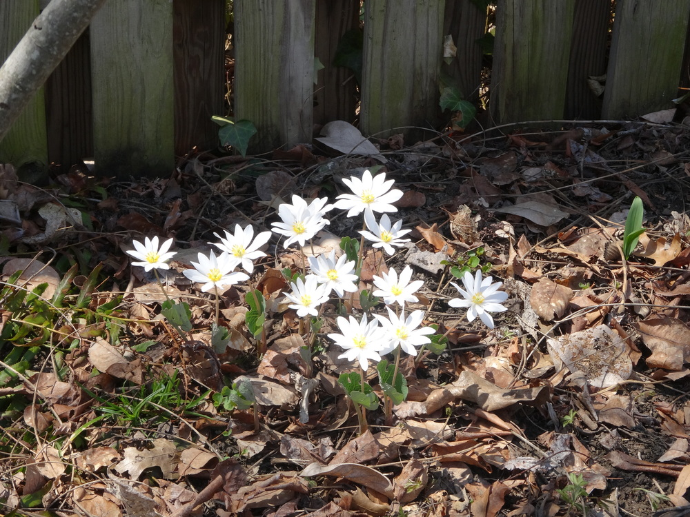 Blood root,   Sanguinaria canadensis