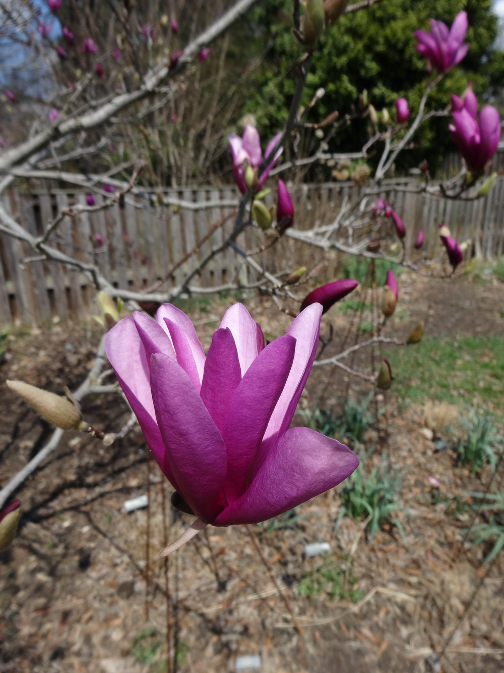 """Betty"" Magnolia"
