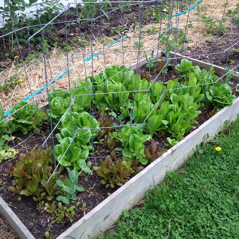 As usual, I only excel at growing lettuce--something you can't preserve. I am going to try to donate it to AFAC. The trellis is for the very late peas, which had spotty germination.