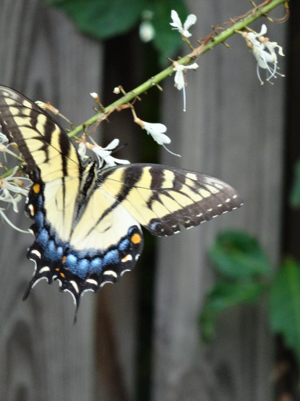Tiger swallowtail on bottlebrush buckeye