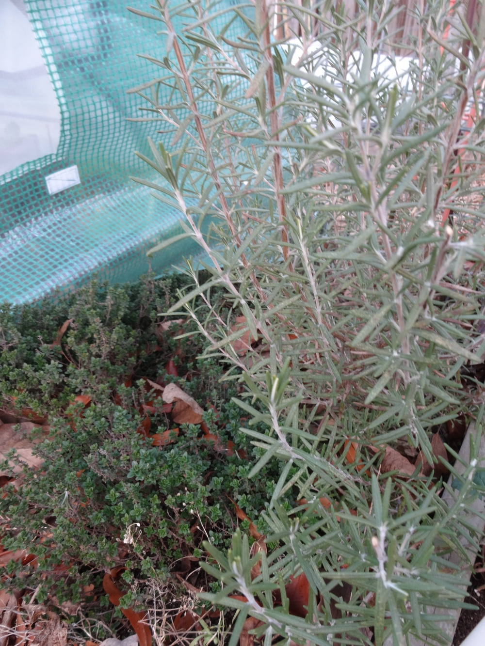 Herbs like thyme, rosemary, and even oregano survive without protection (though they do get some wind blockage from the fences and green houses).