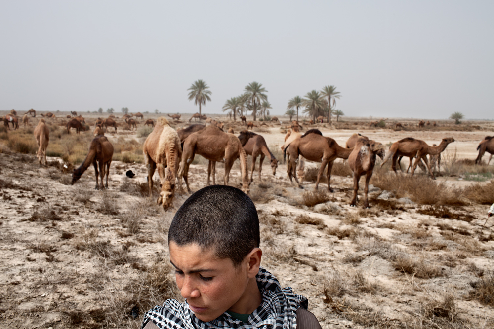 Workers take camels for feeding in Al-Musayab District, Babylon Province, Iraq.