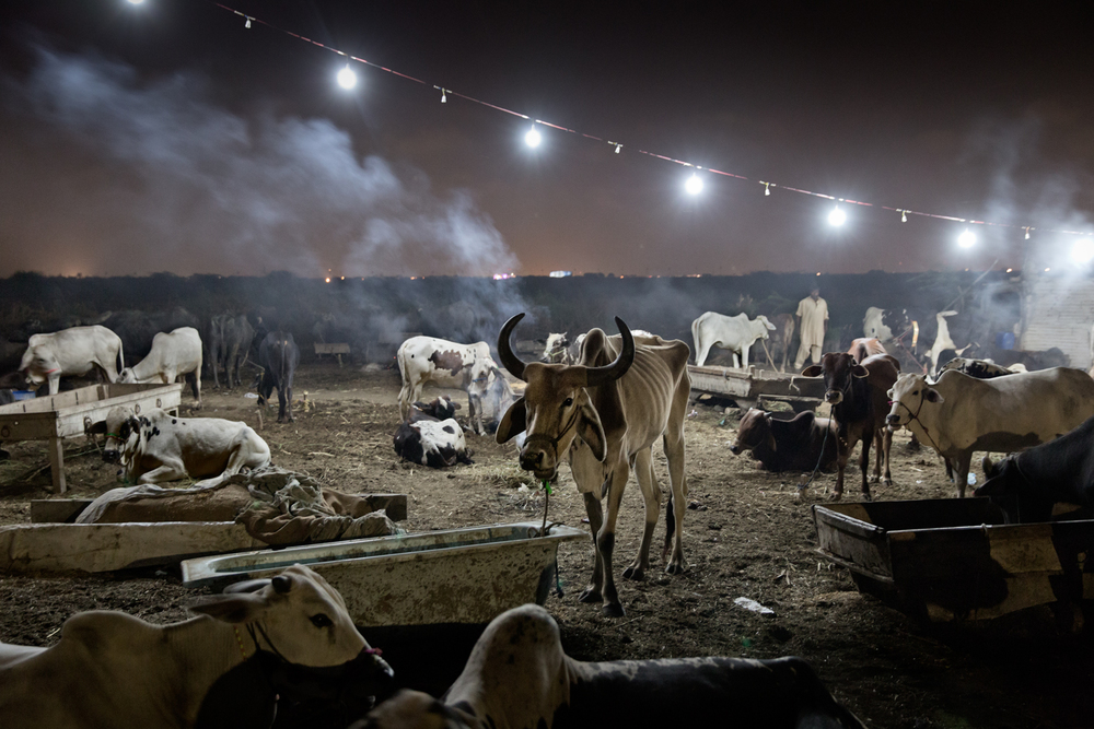 Cattle stands under lights powered by electricity illegally hooked from the power grid at Shah Faisel neighbourhood in Karachi, Pakistan.