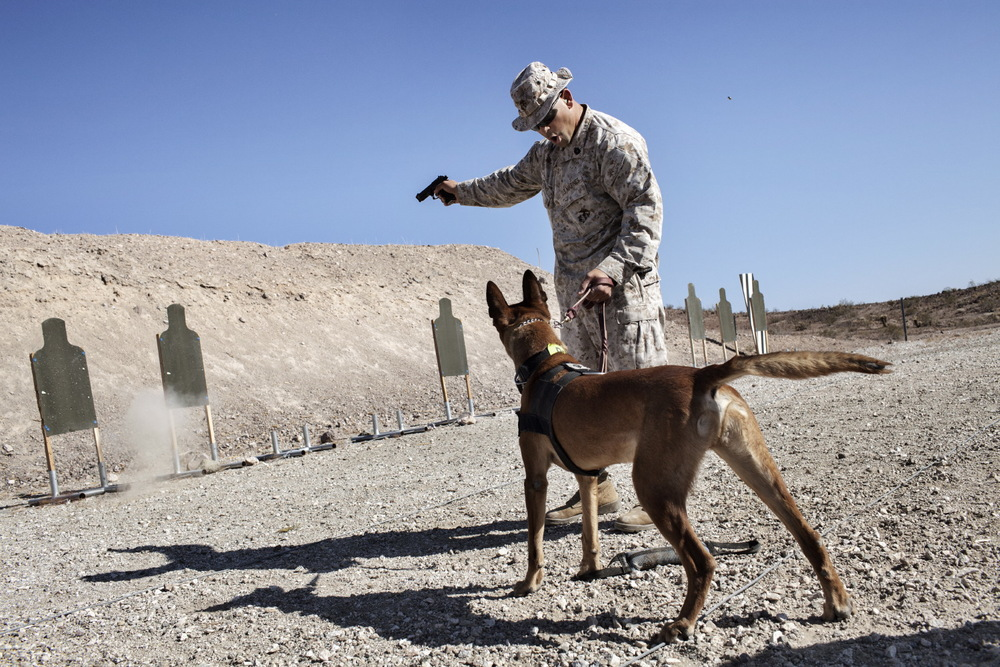 U.S. Marine Gunnery Sergeant Kristopher Knight from the Military Police Instruction Company trains Military Working Dog Ronnie during an Inter-Service Advanced Skills Canine Training Course live fire exercise at Yuma Proving Ground, Arizona, U.S.A. Military dog teams are put through a rigorous training program in the desert of Arizona to get them battle ready for Afghanistan. Adam Ferguson for National Geographic