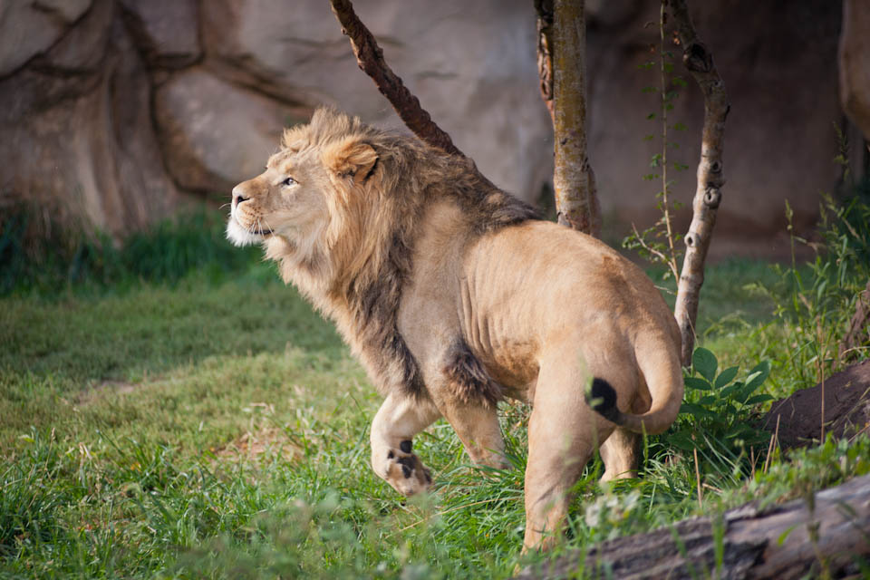 Young male lion, Denver Zoo