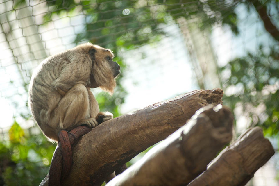 Howler monkey, Denver Zoo