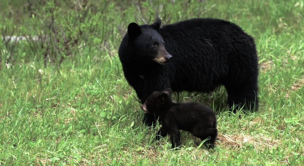 A Mother Black Bear and her Cub