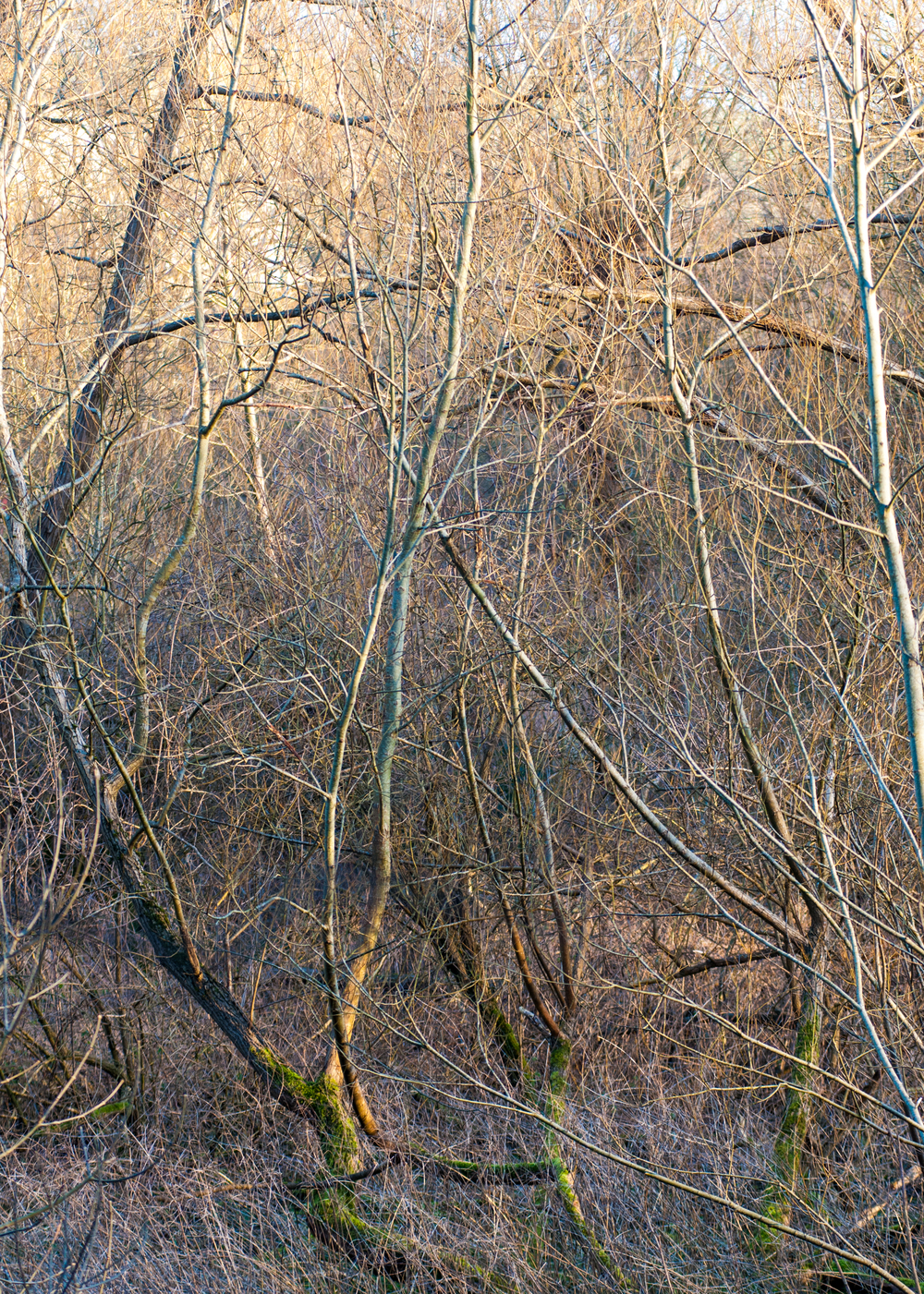 Tangled trees in a wood.jpg