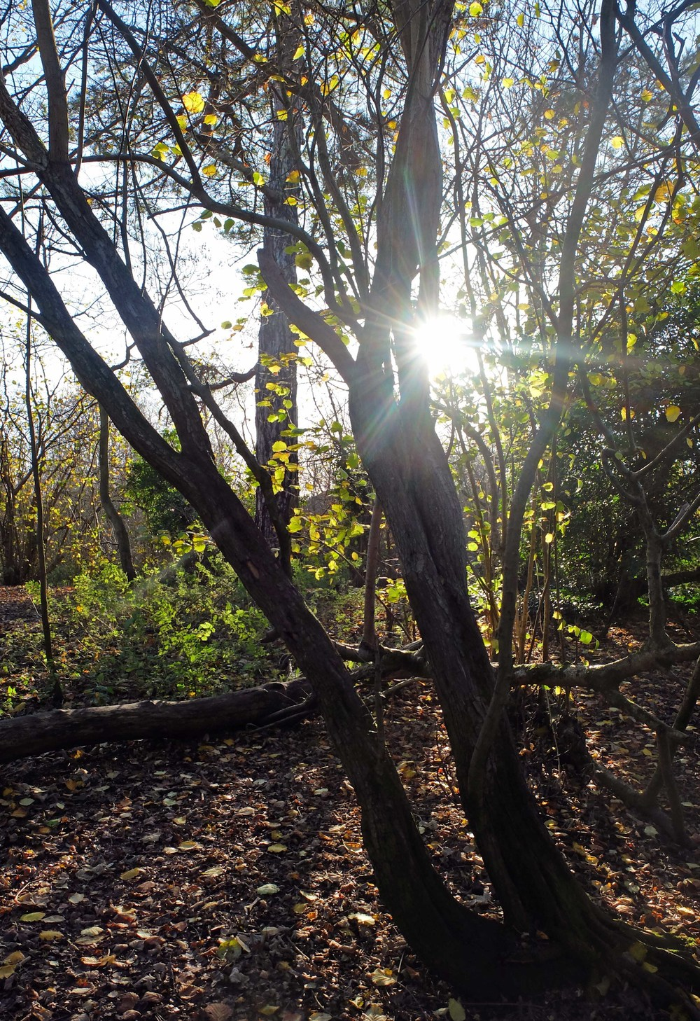 Trees iin winter.jpg