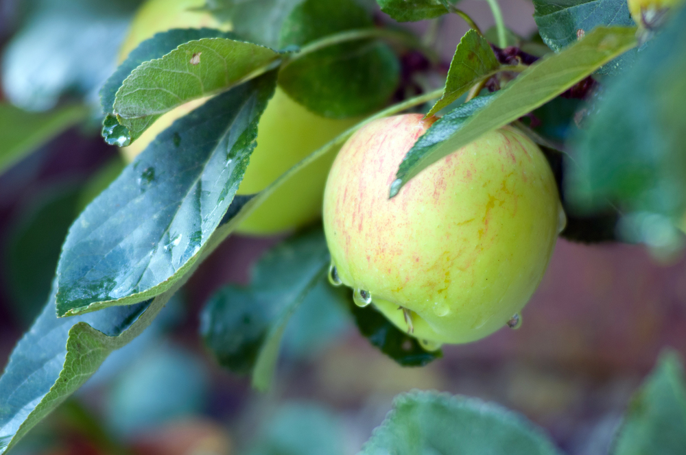 Apple with dew for 100Designs Phototips blog