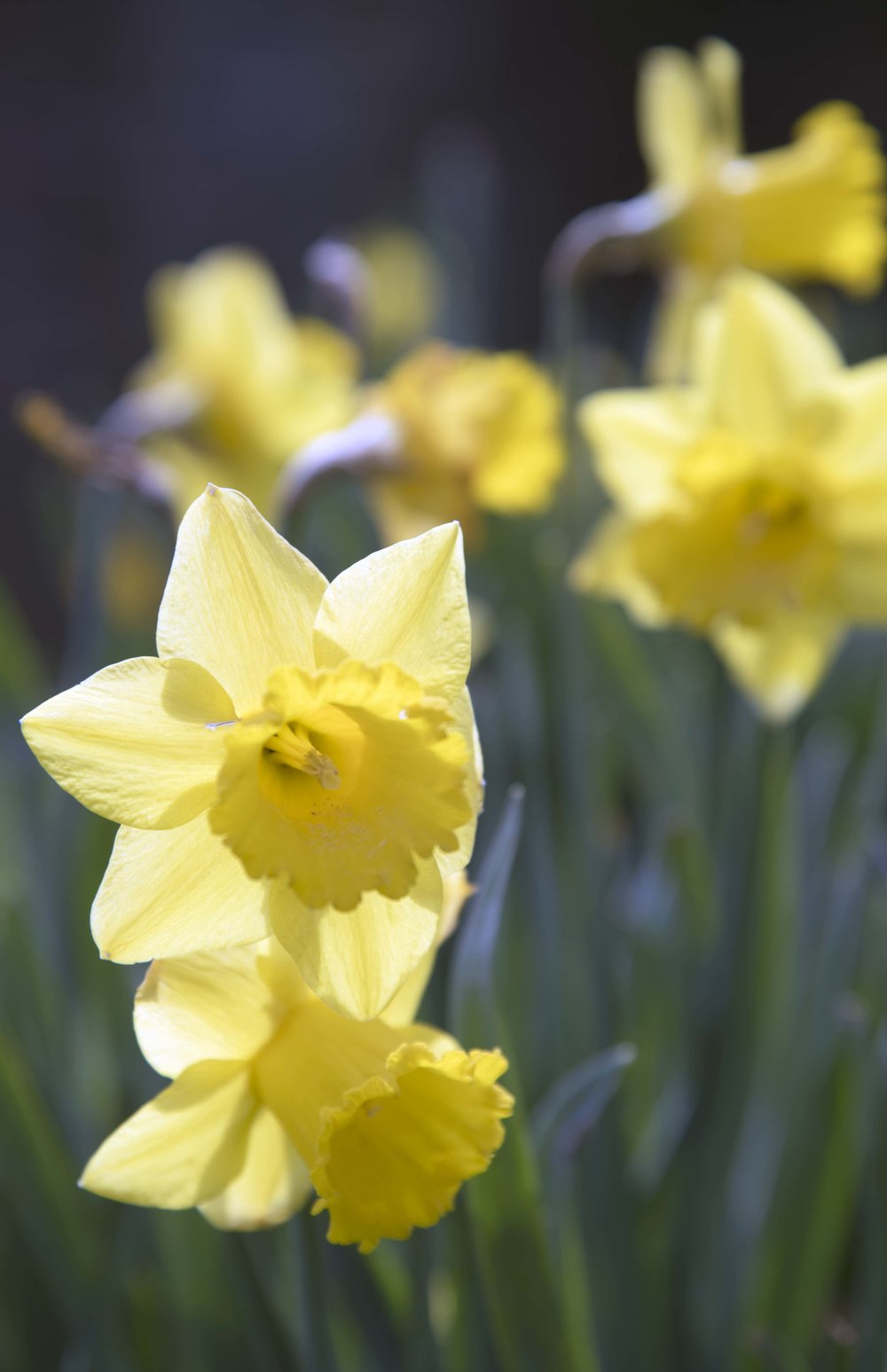 Group of daffodils for web.jpg
