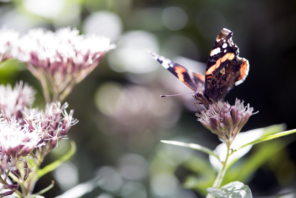 Red admiral in a wood.jpg
