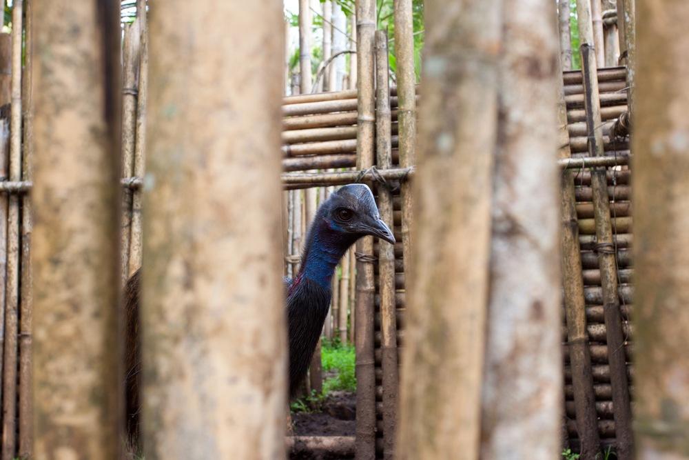captive cassowary.jpg