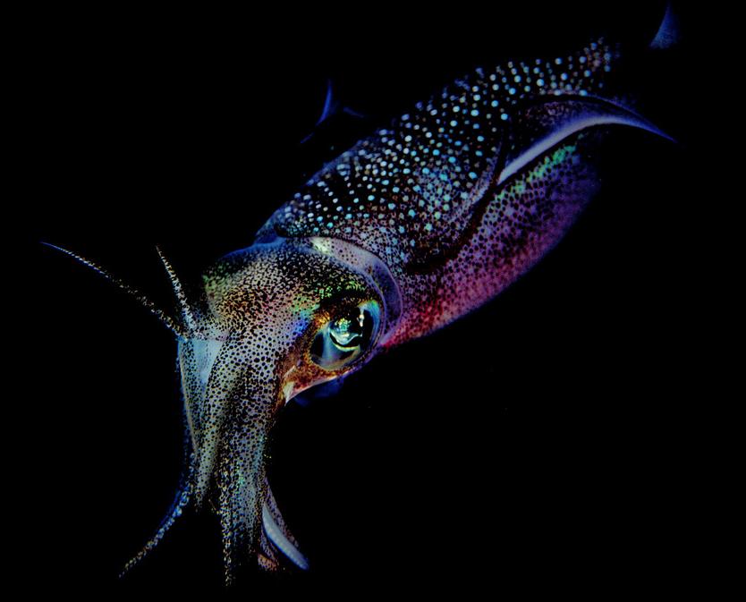 Foale_squid1.png