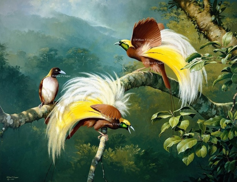 Lesser Birds-of-Paradise (William T Cooper)