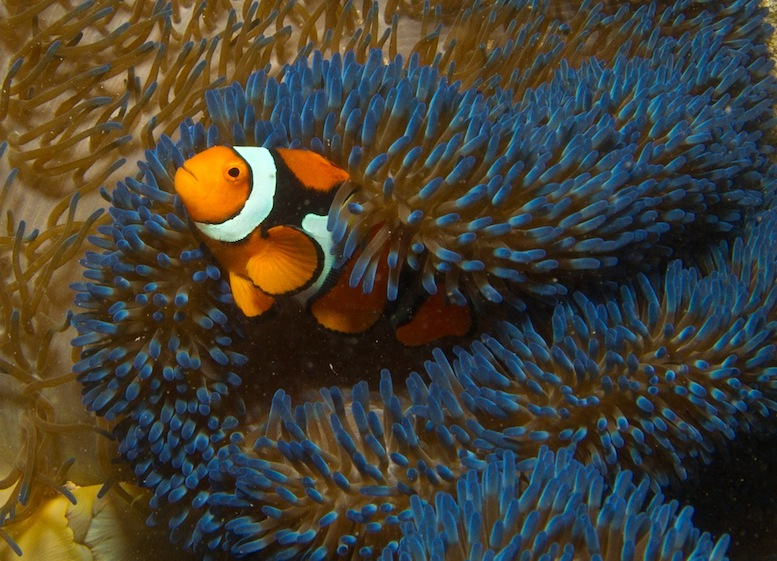 Clown Anemonefish among blue carpet anemone, New Ireland, PNG (Mark Ziembicki)