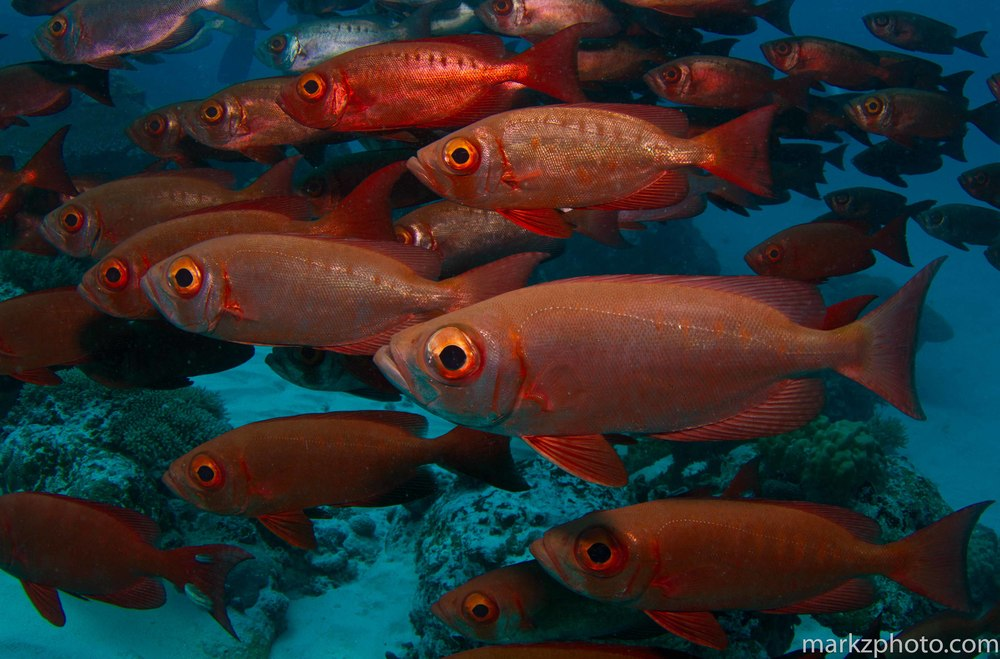 Shoal of Red Big-eye  Priacanthus hamrur , Palau