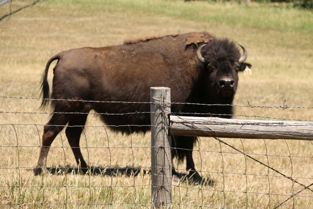 A Colorado Buffalo