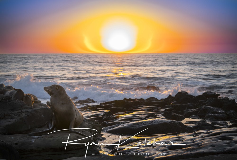 Sunset over large sea lion on the rocks, San Diego Beach, CA