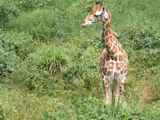 ©Flyga Twiga LLC - Giraffe Sanctuary, Karen, Nairobi, Kenya