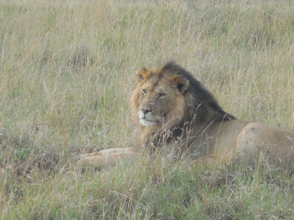 Kenya Lion Maasia Mara 2014 ©Flyga Twiga LLC