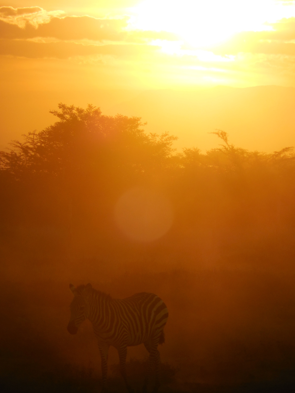 Zebra at Sunset, Amboseli National Park, Kenya 2014 © Flyga Twiga LLC     Member ID: 14-3-1090-5CH
