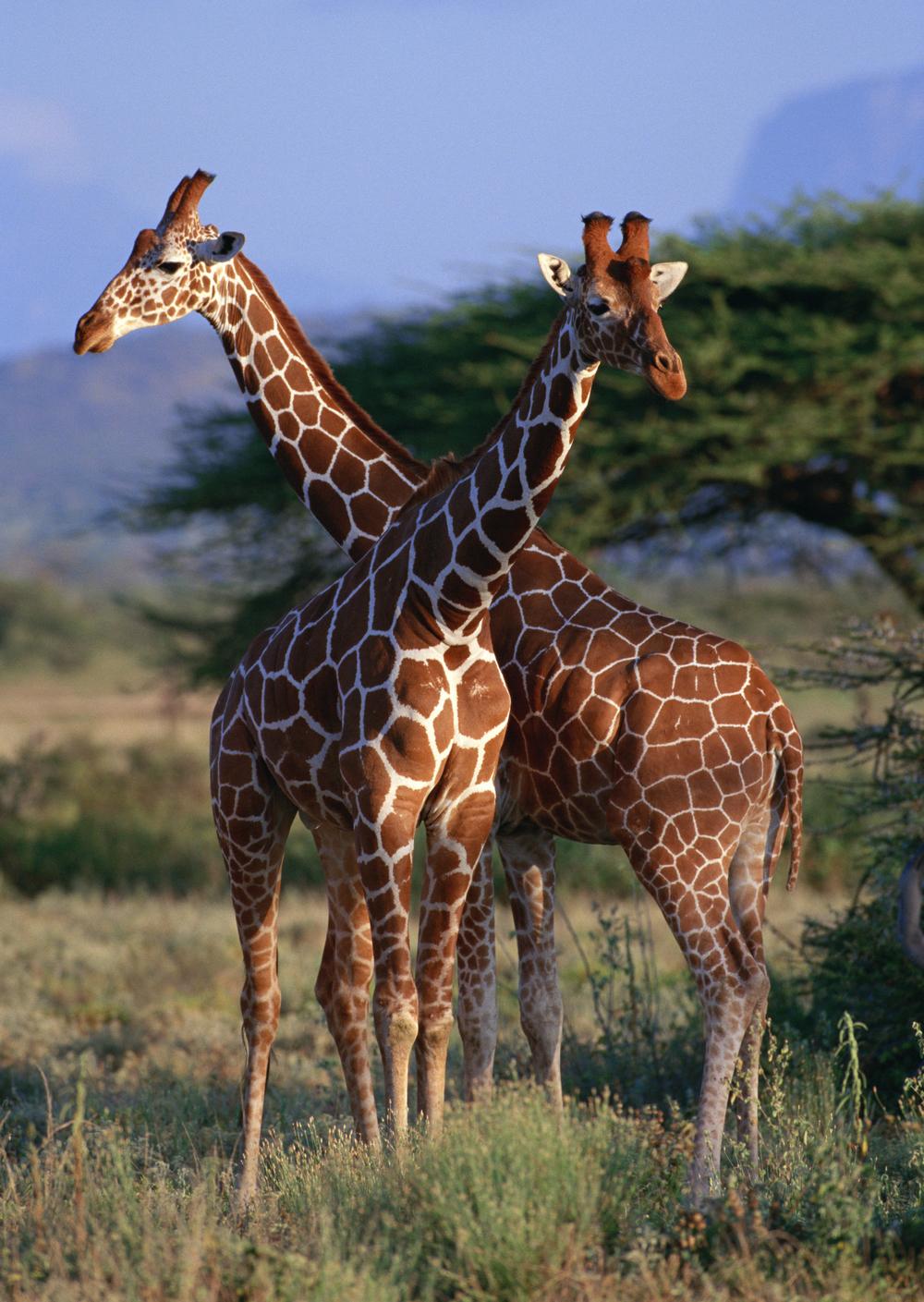 Photo Credit: Twiga_NairobiNationalPark©CharlesMuindiAirports&BeyondTours