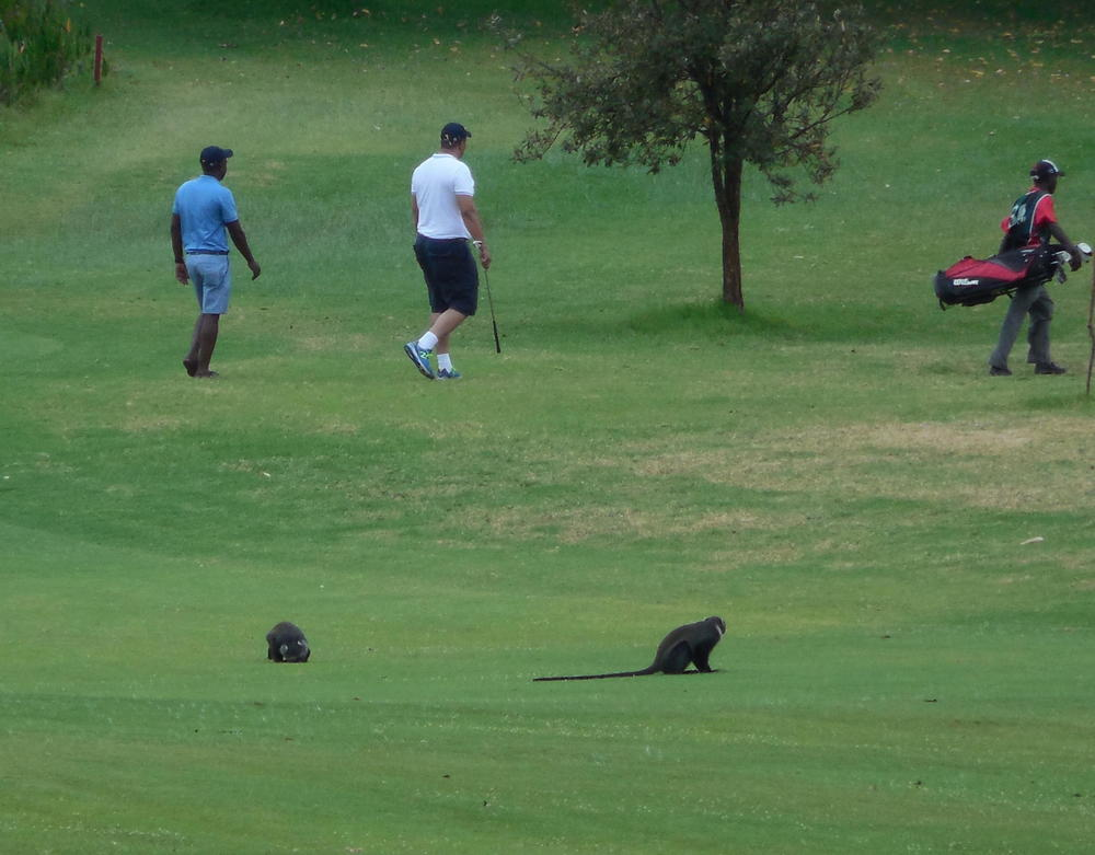 GolfingwithMonkeysKenya2015©FlygaTwigaLLC