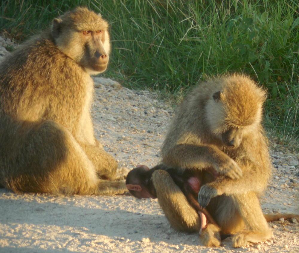 Baboons in Kenya 2012 ©Flyga Twiga LLC