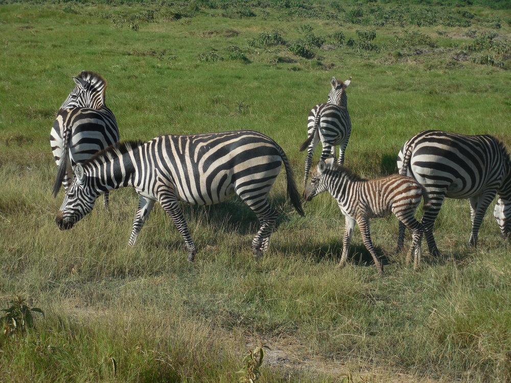 Zebras Kenya 2014 © Flyga Twiga LLC