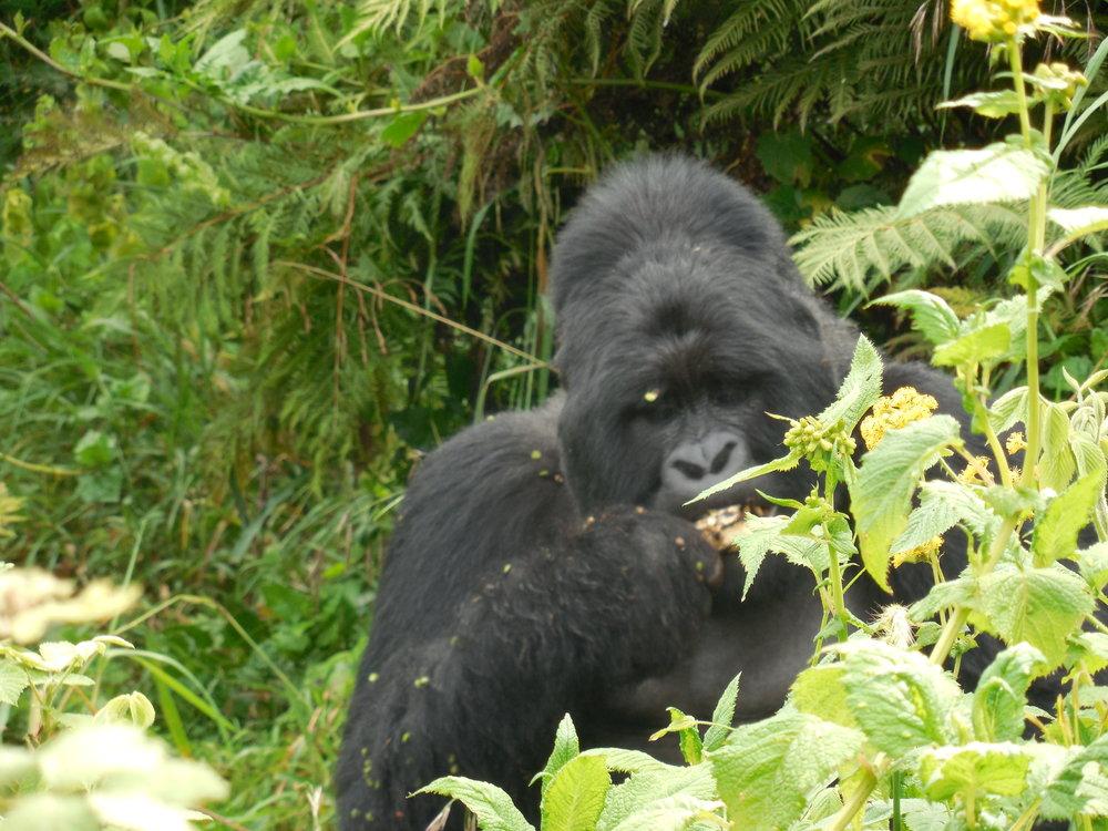 GorillaTrekkingUganda©FlygaTwigaLLC