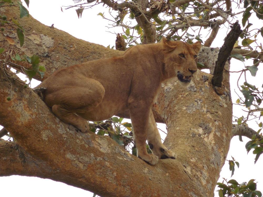 TreeClimbingLionsUganda©FlygaTwigaLLC