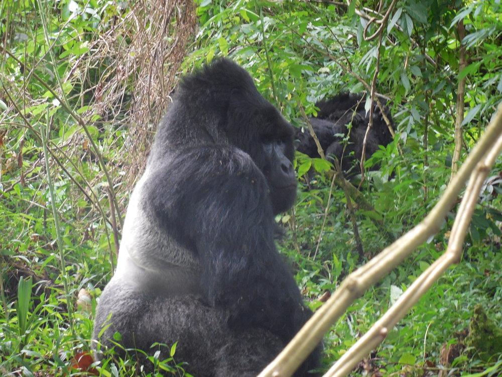 Alpha Male Gorilla & Family Uganda © Flyga Twiga LLC