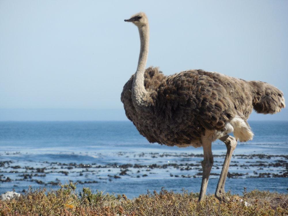 OstrichCapeofGoodHopeSA©FlygaTwigaLLC